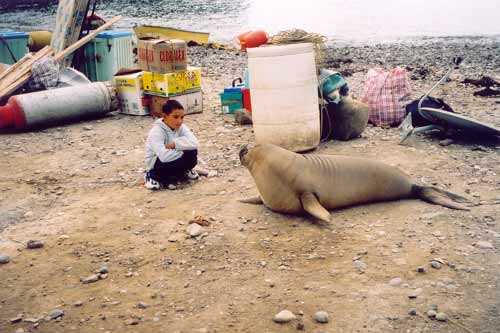 A boy at Islas San Benito who couldn't resist an Elephant Seal weiner!