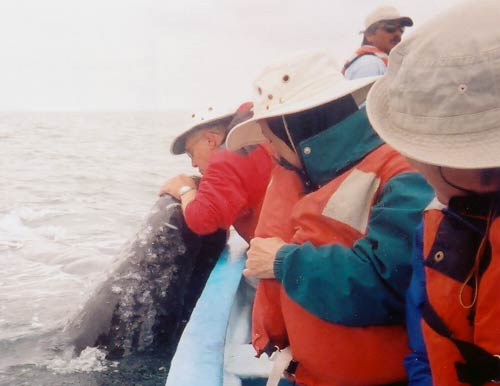 Steve kissing a gray whale