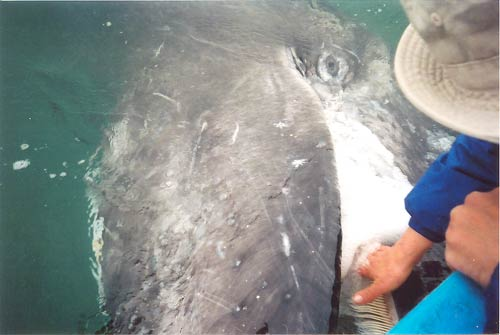 Terry Glasco rubbing gray whale baleen in San Ignacio Lagoon, Baja, Mexico