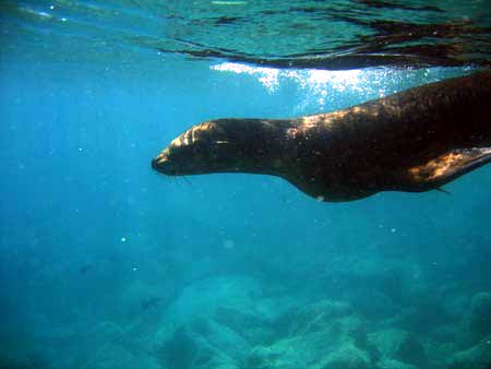 Swimming with the Sea Lions at Los Islotes