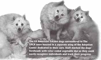 American Eskimo Dogs surrendered to the Monterey County SPCA